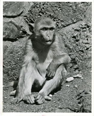 NEWS PHOTO: DETROIT ZOOLOGICAL PARK  RHESUS MONKEY 1957