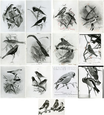NEWS PHOTO: F.W. FROHAWK BIRD PAINTINGS 1934 GOLDFINCH